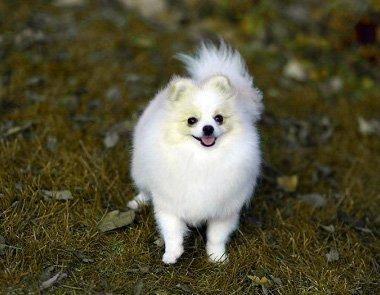 Купить собаку мини шпиц