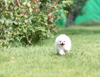 Купить щенка померанского шпица