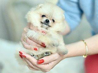 Купить щенка померанского шпица в Украине
