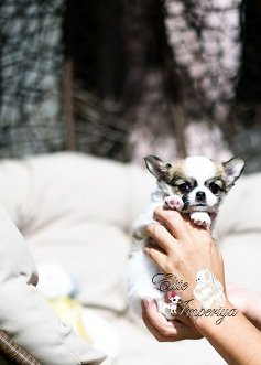 Купить щенка чихуахуа в Донецке