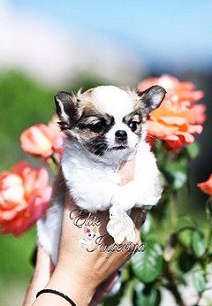 Собака щенок чихуахуа купить